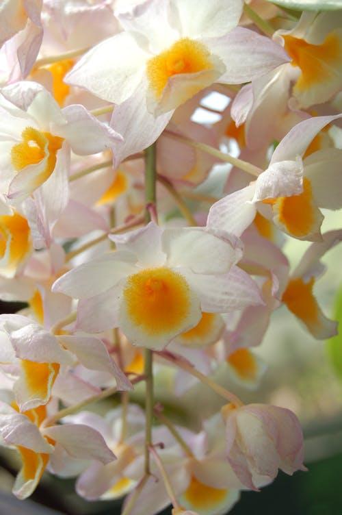 花, 蘭花 的 免费素材图片