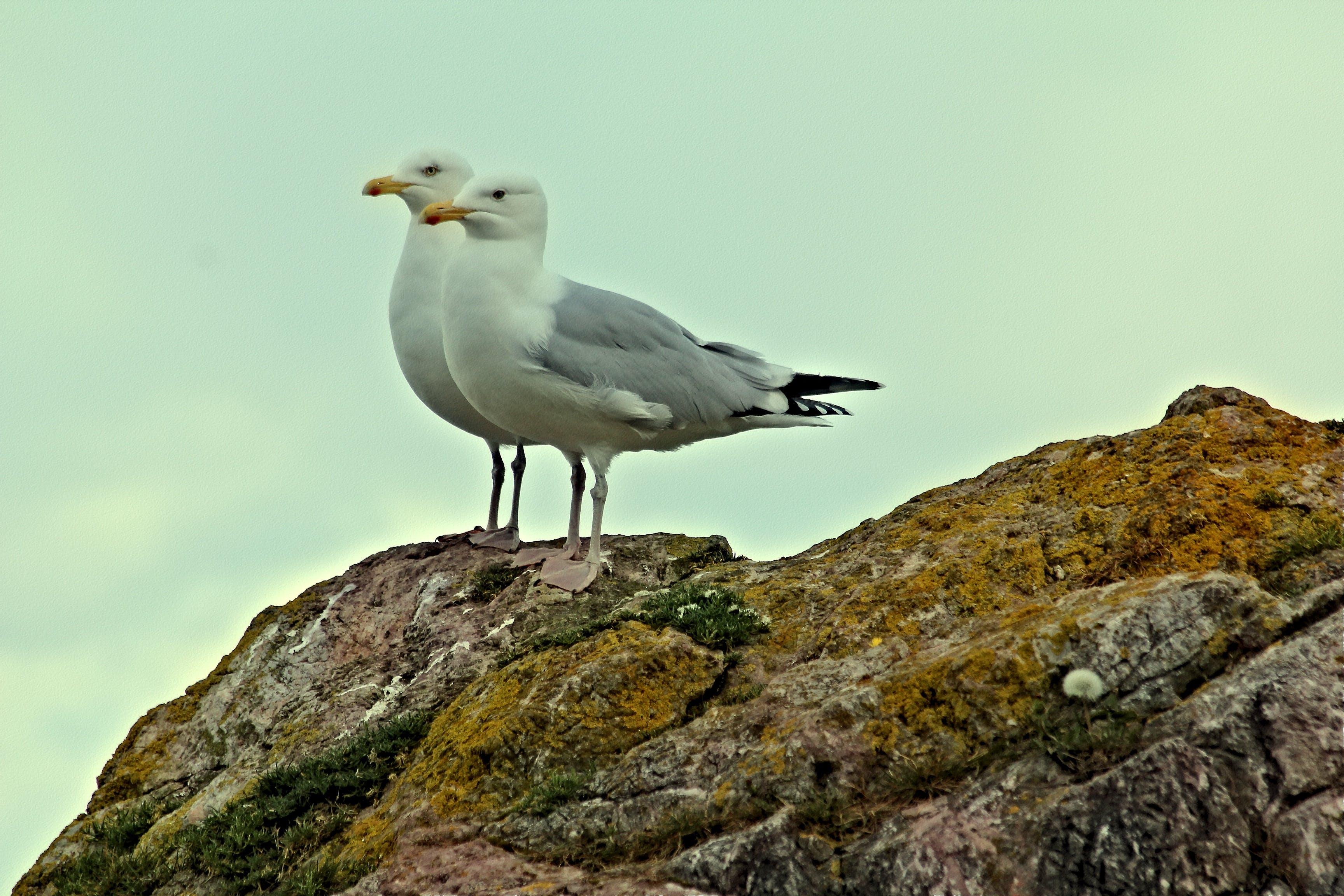 Two White Seagulls on Rock