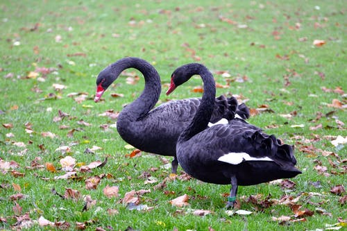 Two Black Ducks on Grass Lawn