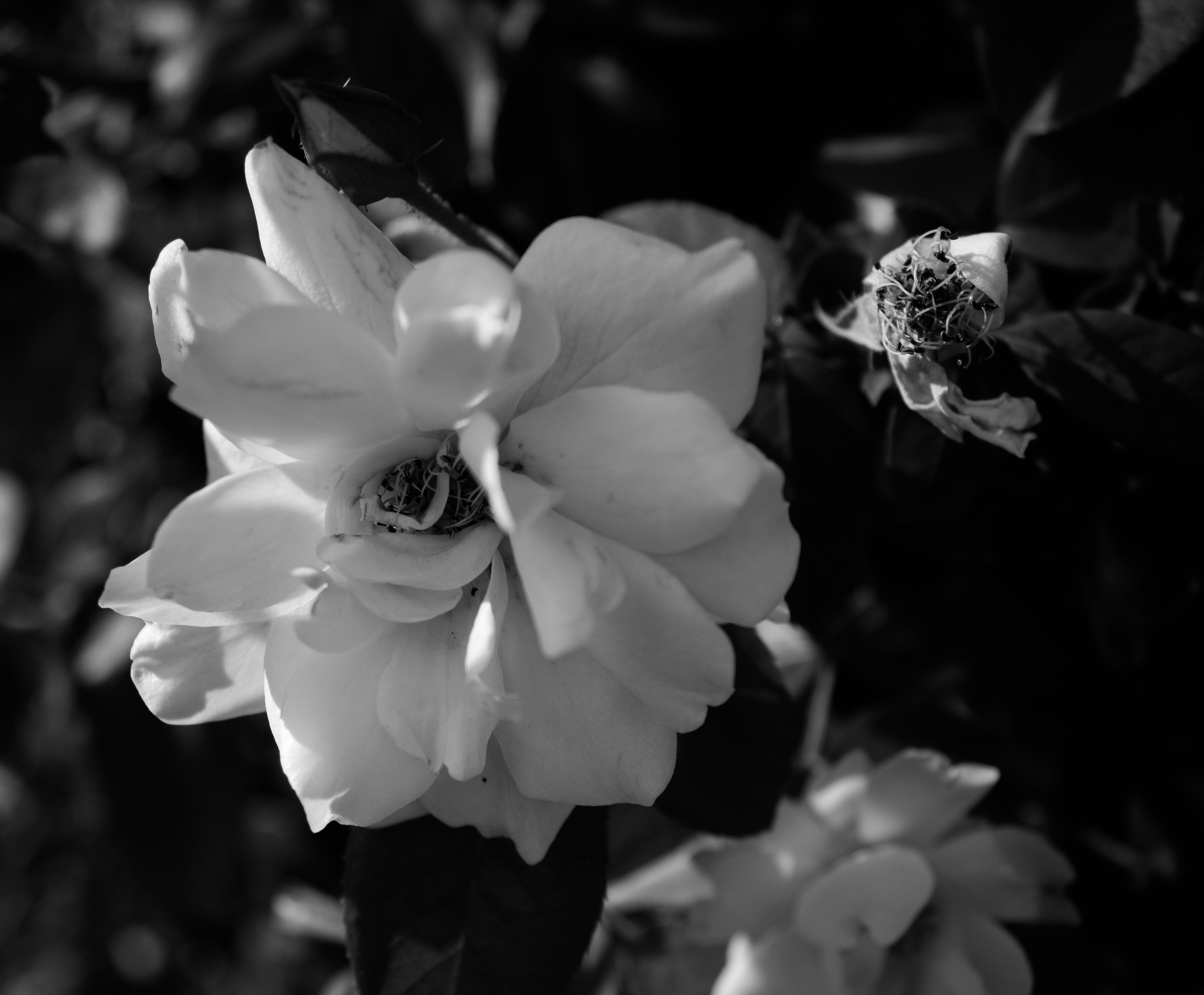 Free stock photo of beautiful flowers, black and white, flower, lonely