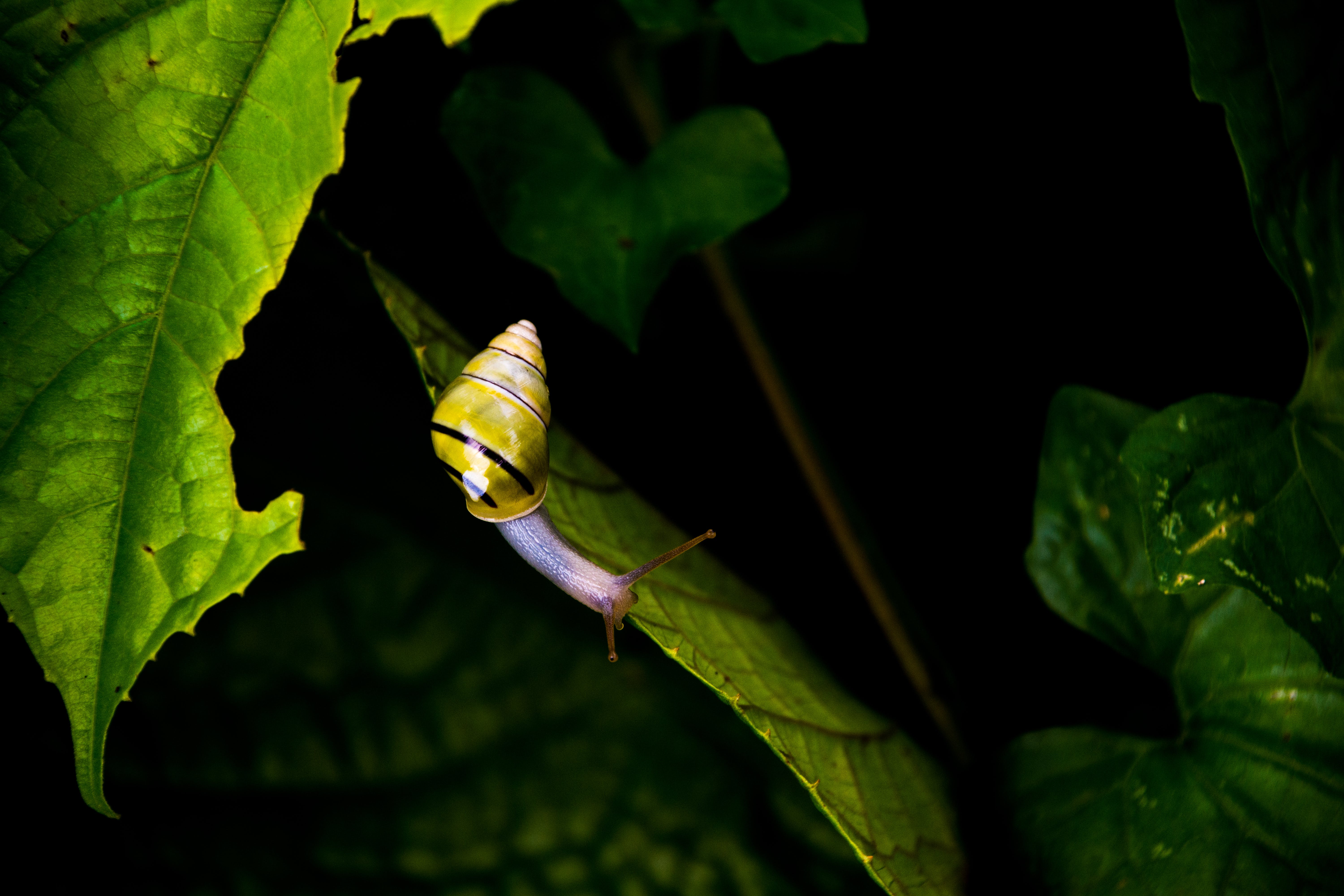 Yellow and Black Stripe Snail on Green Leaf