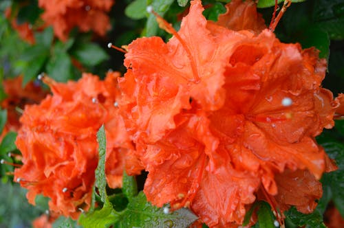 Free stock photo of flower, orange