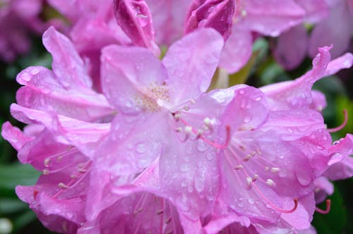 Free stock photo of rhododendron