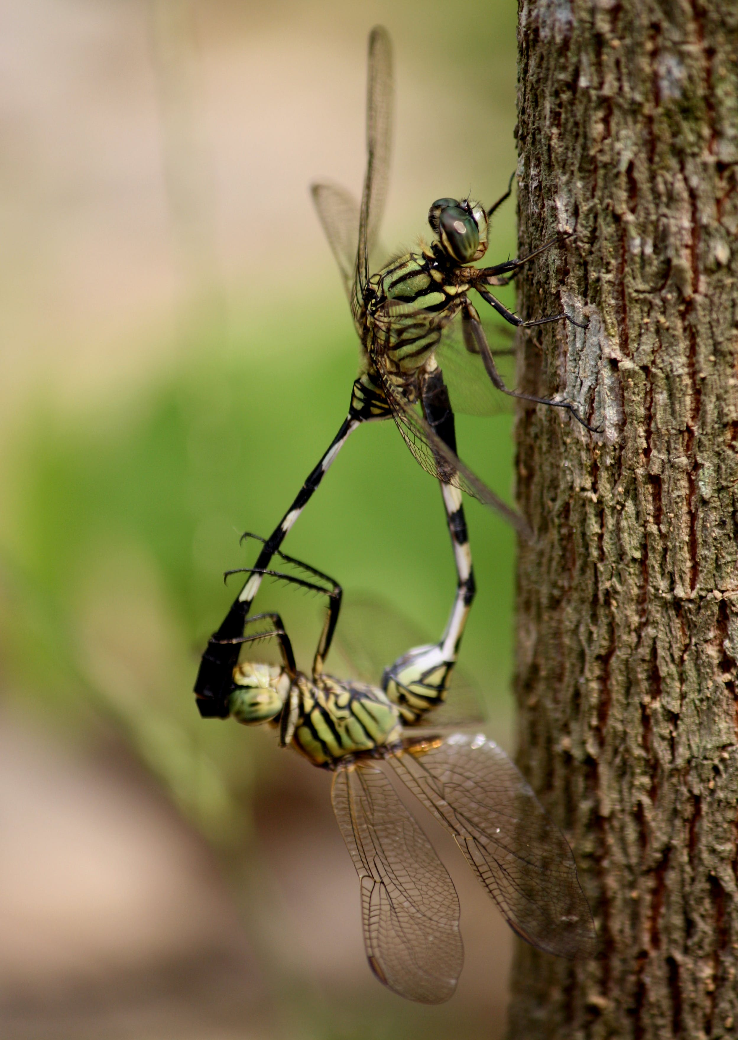 Two Green Dragonflies Mating