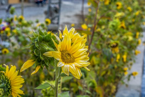 Free stock photo of sunflower, sunflowers, yellow, yellow flower