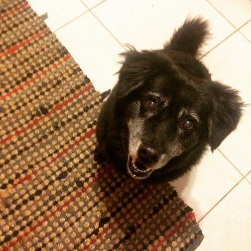 Ingyenes stockfotó állat, fekete, fekete kutya, házi kedvenc témában
