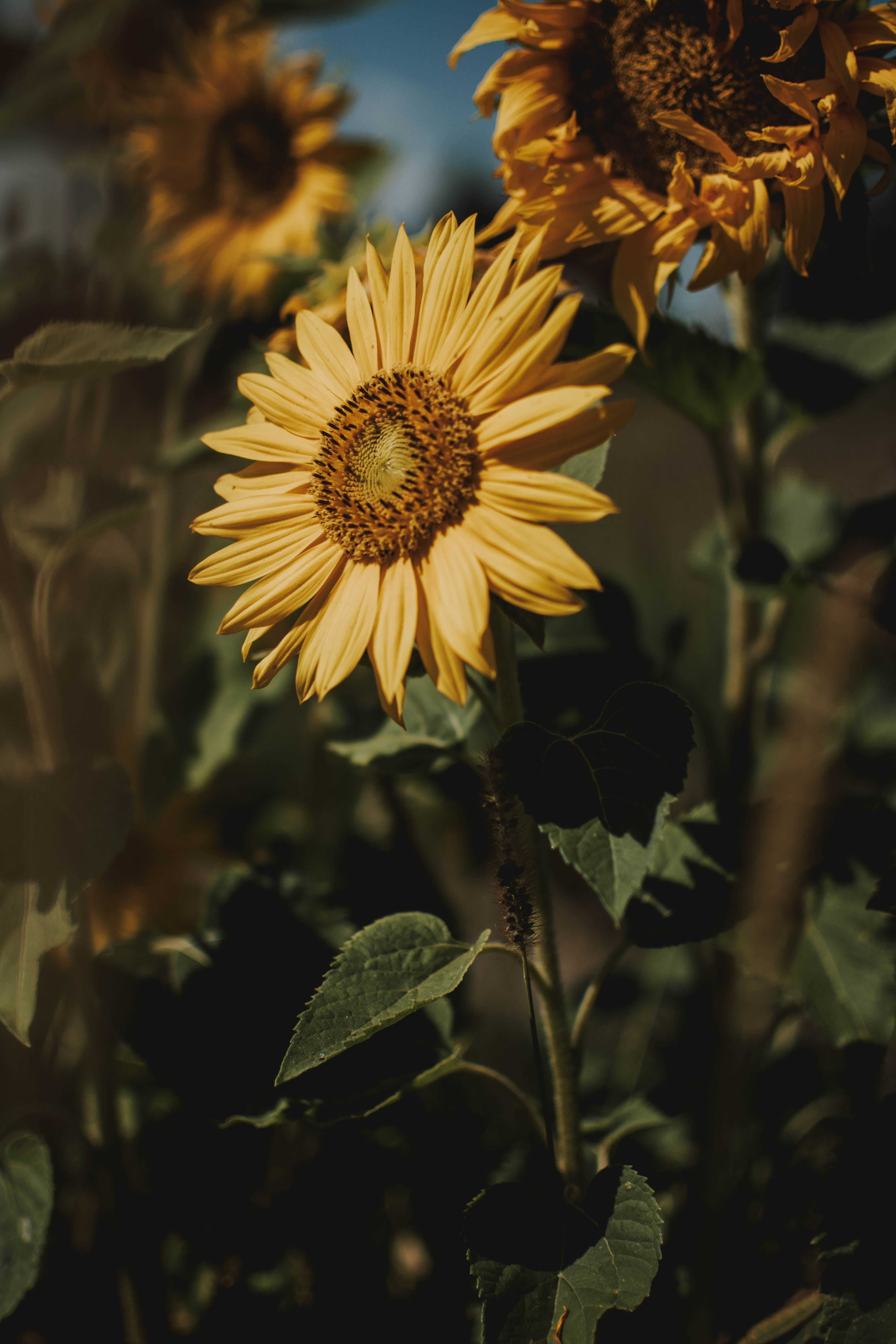 Bed of Sunflower