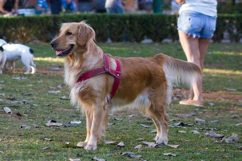 Fotobanka sbezplatnými fotkami na tému pes, zlatý retriever