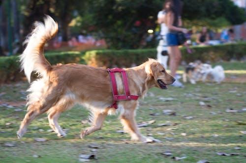 Fotobanka sbezplatnými fotkami na tému pes, zlatý re