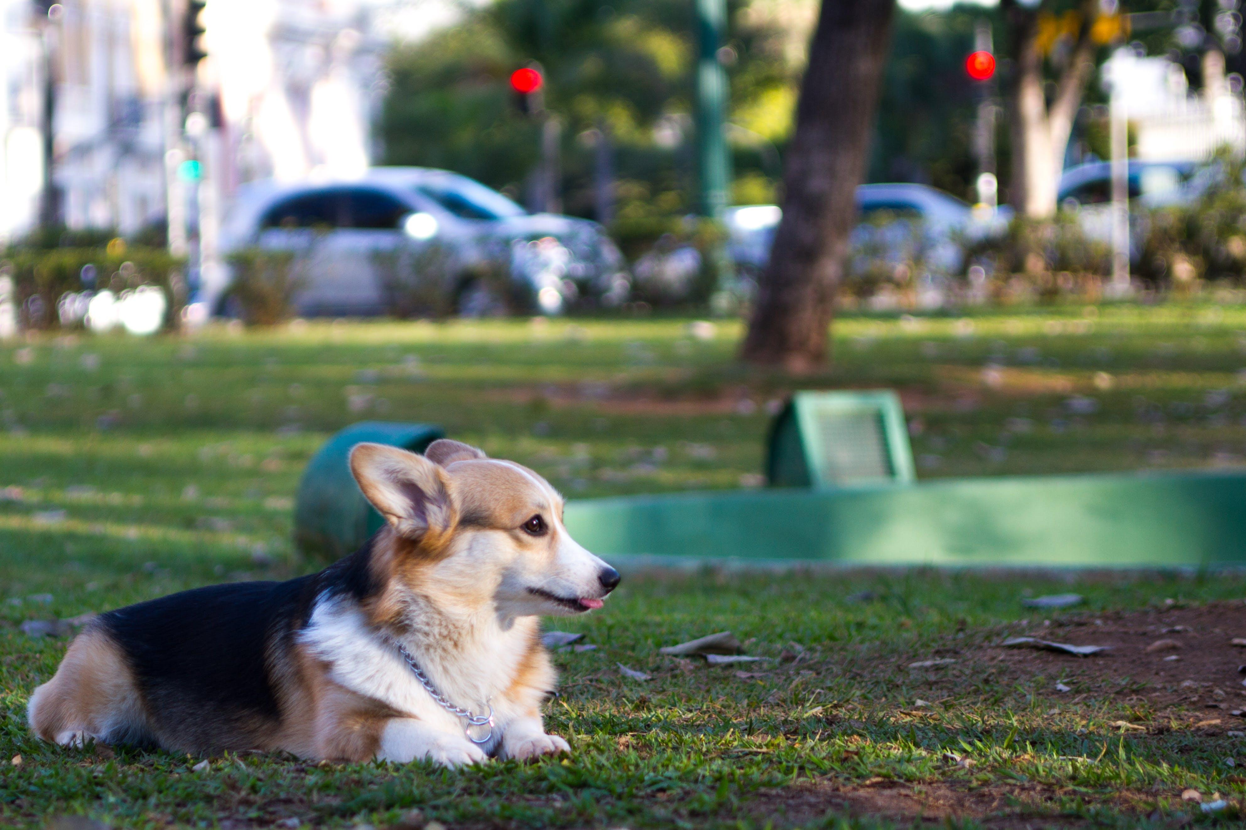 Free stock photo of dog, corgi