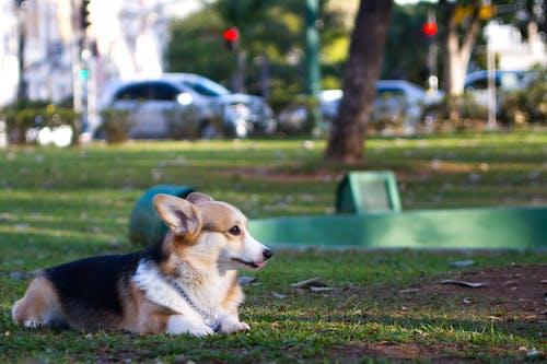 Fotobanka sbezplatnými fotkami na tému pes, waleský korgi