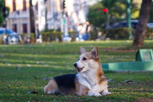 Photos gratuites de chien, corgi