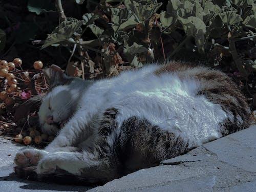 Ilmainen kuvapankkikuva tunnisteilla kotikissa, unessa
