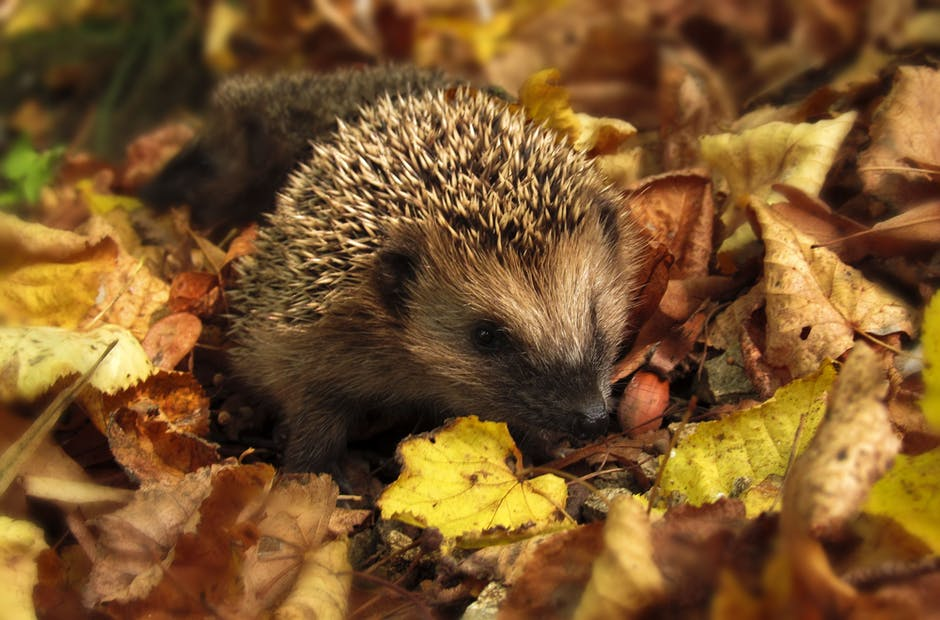 Brown and Black Hedgehog Standing on Brown Dry Leaved