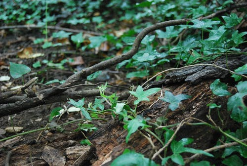 Free stock photo of forest floor, ivy, mud, tree bark