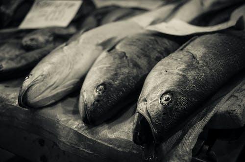 Free stock photo of fish, monochromatic, sepia