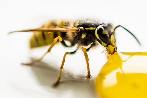Yellow Jacket in Macro Shot