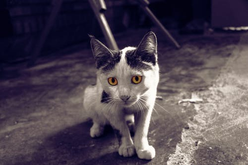 Imagine de stoc gratuită din alb-negru, feline, galben, ochi de pisică