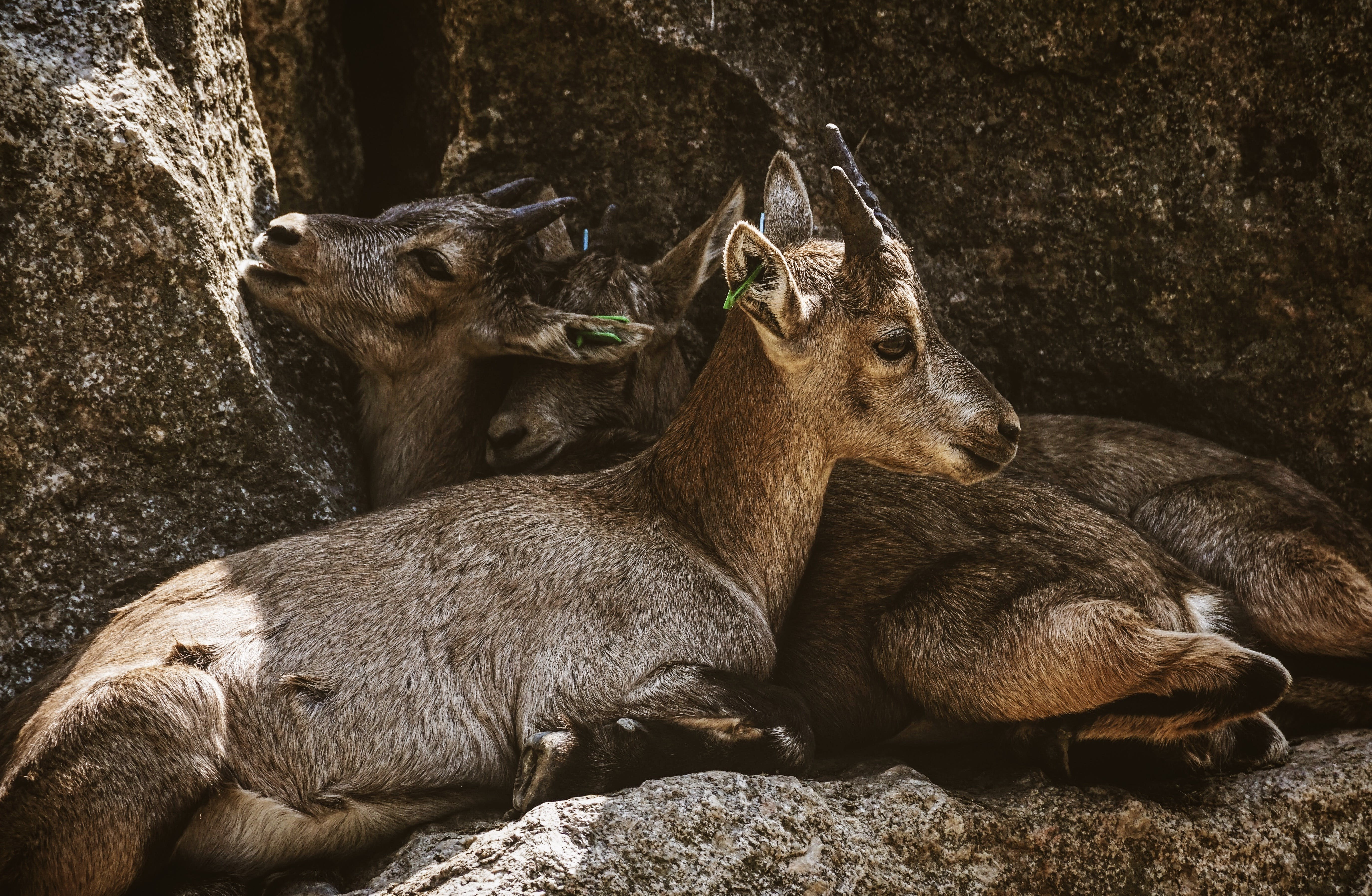 Two Brown Goat Kids Cuddling Each Other