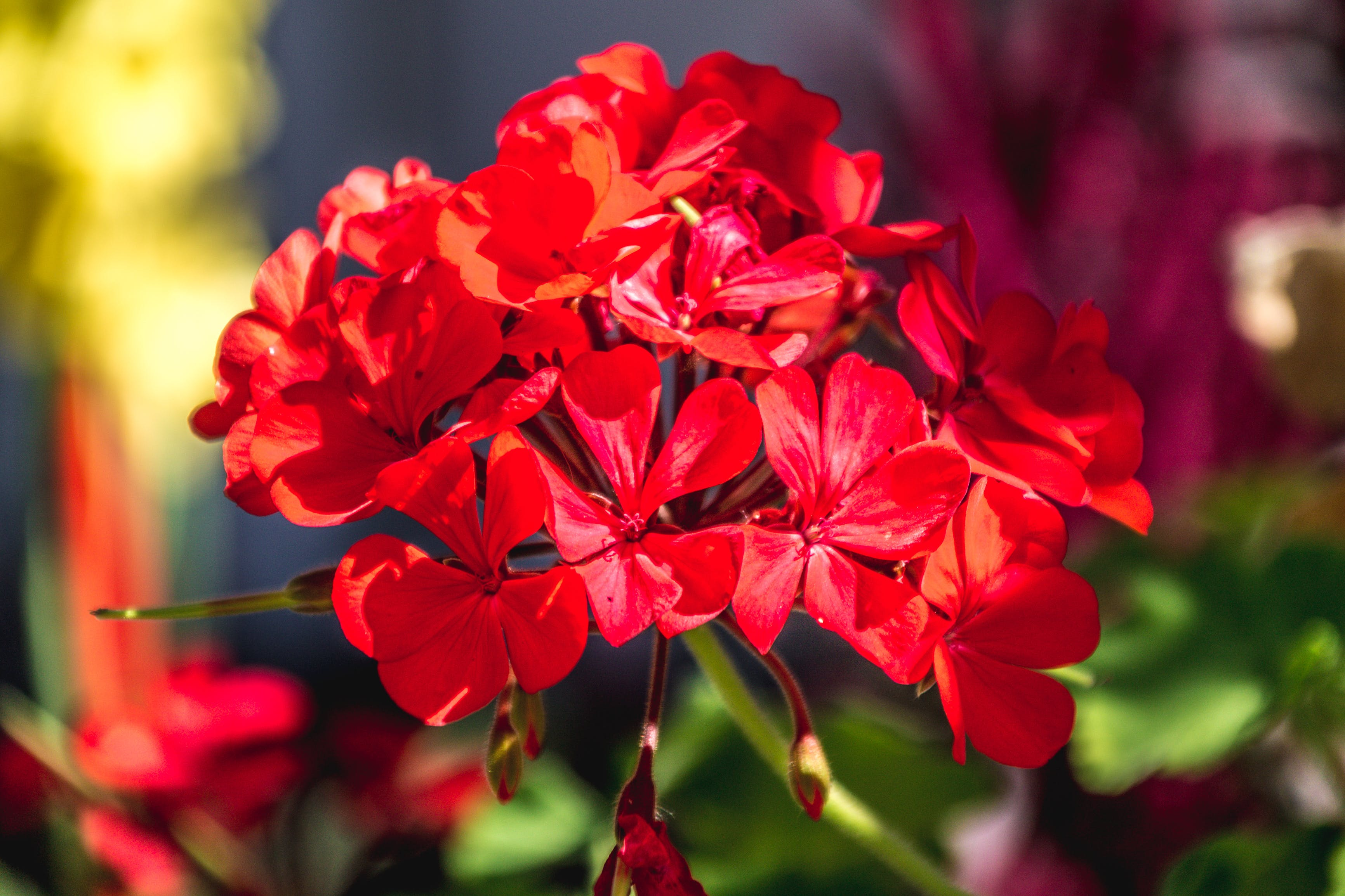 Free stock photo of red, red flowers