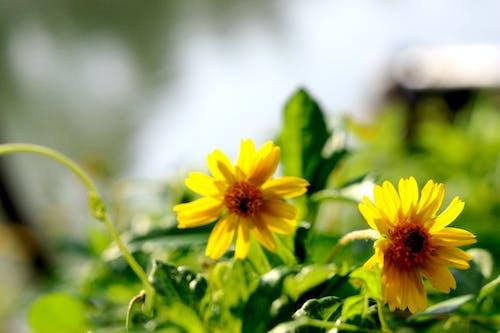 Безкоштовне стокове фото на тему «цвітіння флори»