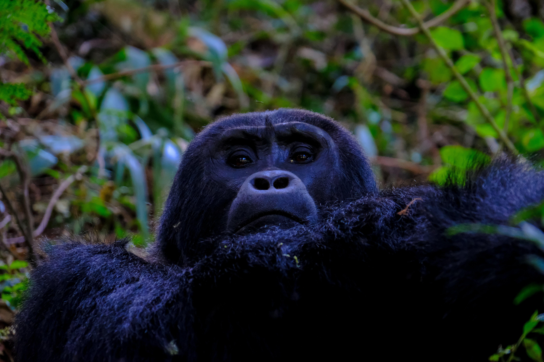 Black Orangutan