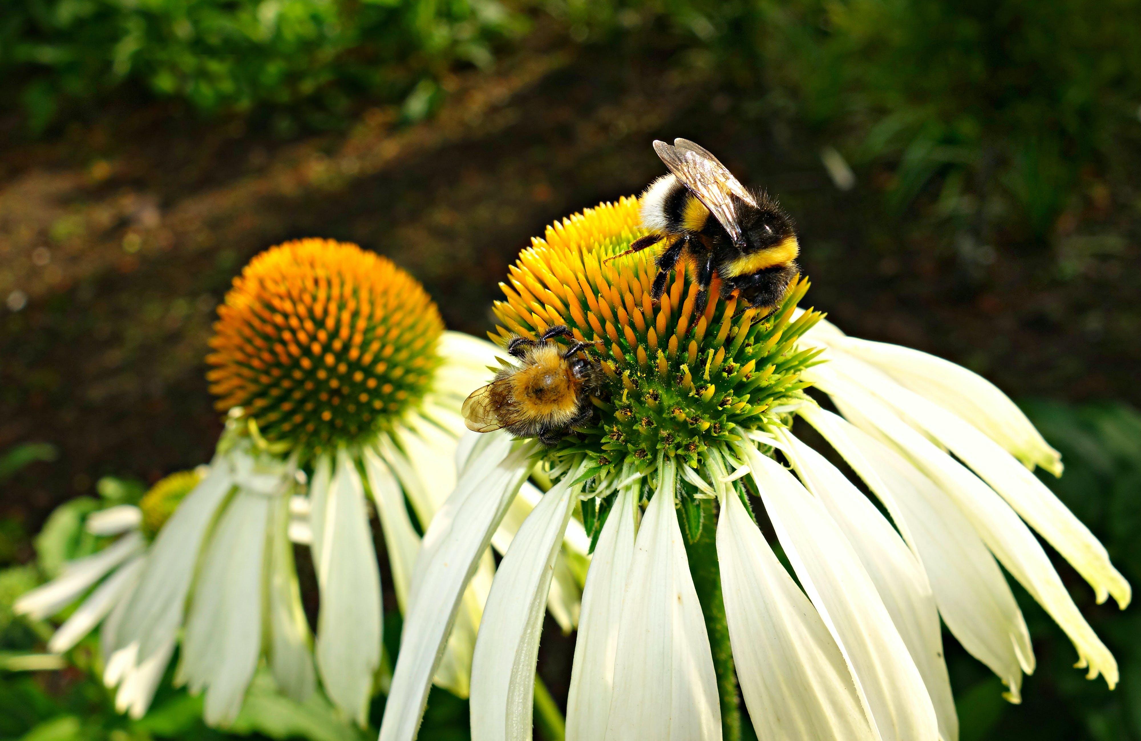 of bee, bright, coneflower, echinacea