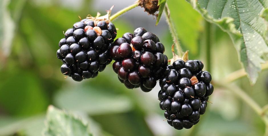 berries, blackberries, blur