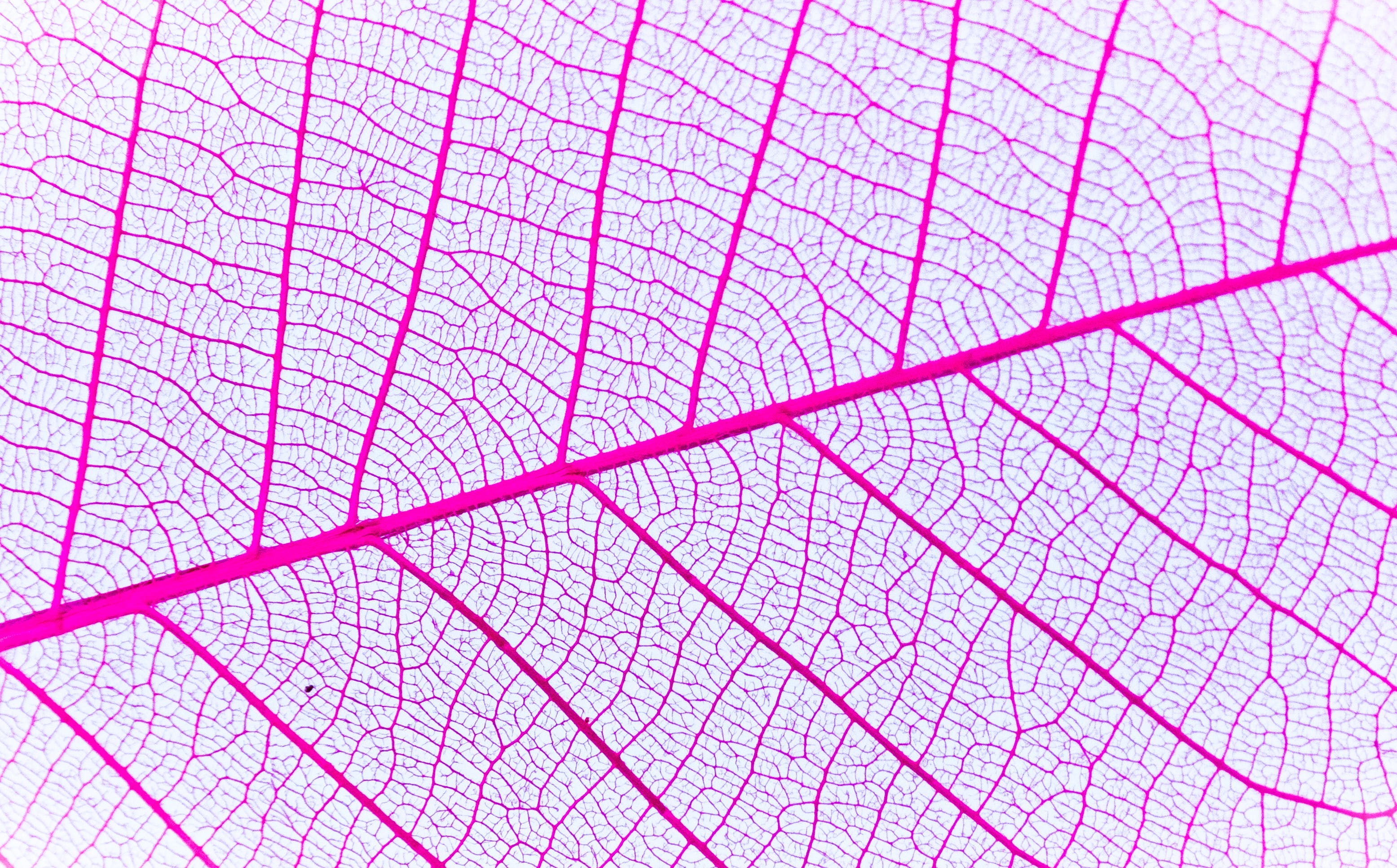 Free stock photo of leaf, close-up, veins, banana leaf