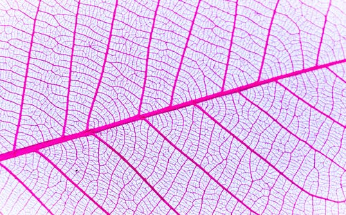 Purple and White Leaf