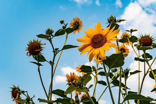 Ilmainen kuvapankkikuva tunnisteilla auringonkukat, kasvikunta, kasvit, kasvu