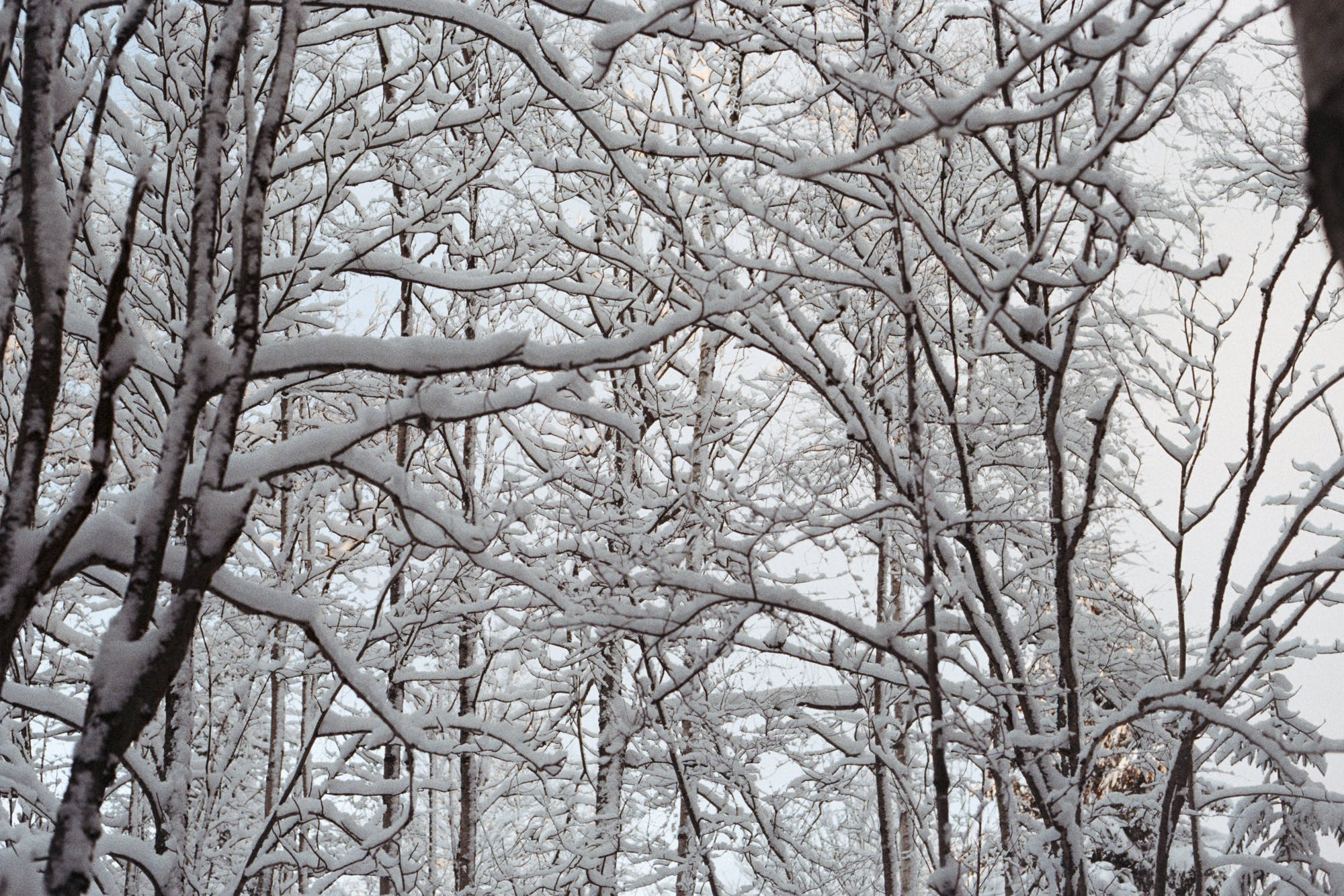 Free stock photo of branches, forest, snow, winter
