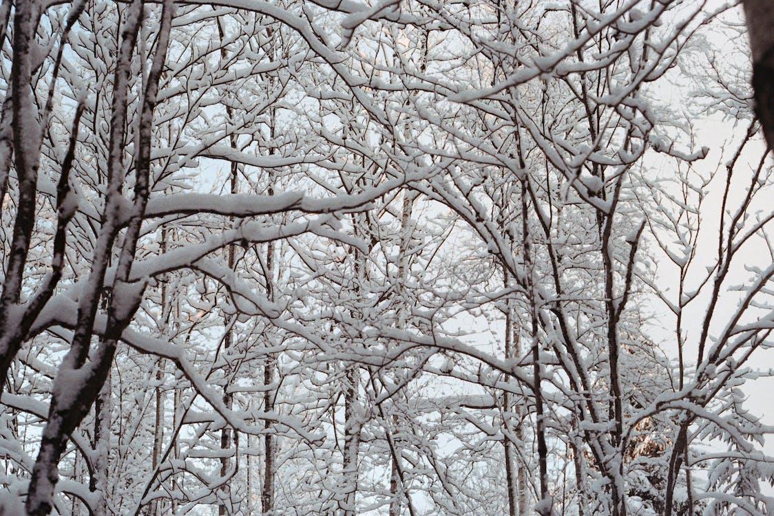Ilmainen kuvapankkikuva tunnisteilla lumi, metsä, oksat