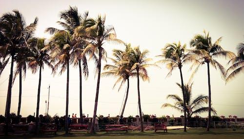 Kostnadsfri bild av bänkar, blåsigt, dagsljus, kokosnötter