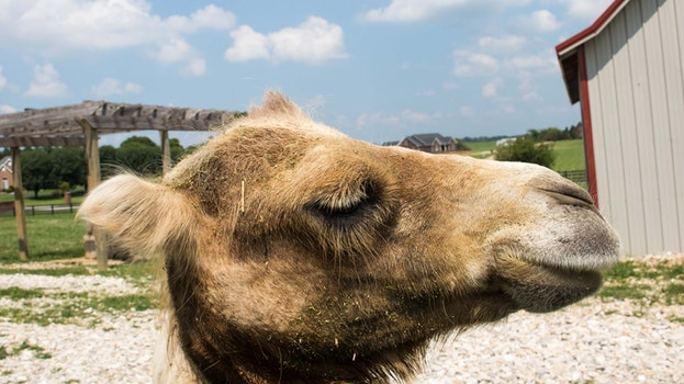 Free stock photo of animal, camel, cow, camels