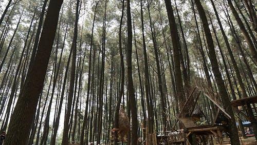 Foto d'estoc gratuïta de bosc, pins