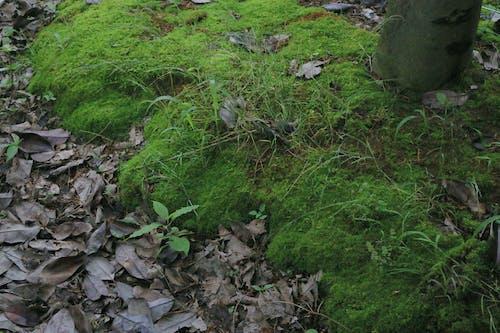 綠色, 苔蘚 的 免费素材照片