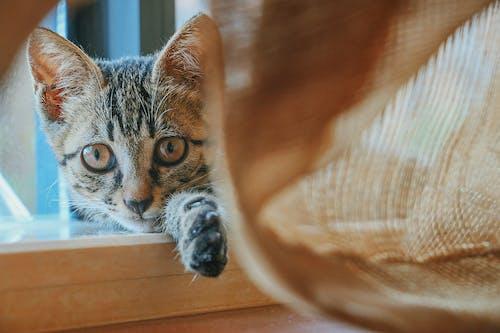 Foto d'estoc gratuïta de adorable, animal, bufó, buscant