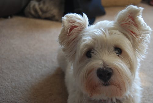 Free stock photo of carpet, white dog, Yorkshire Terrier