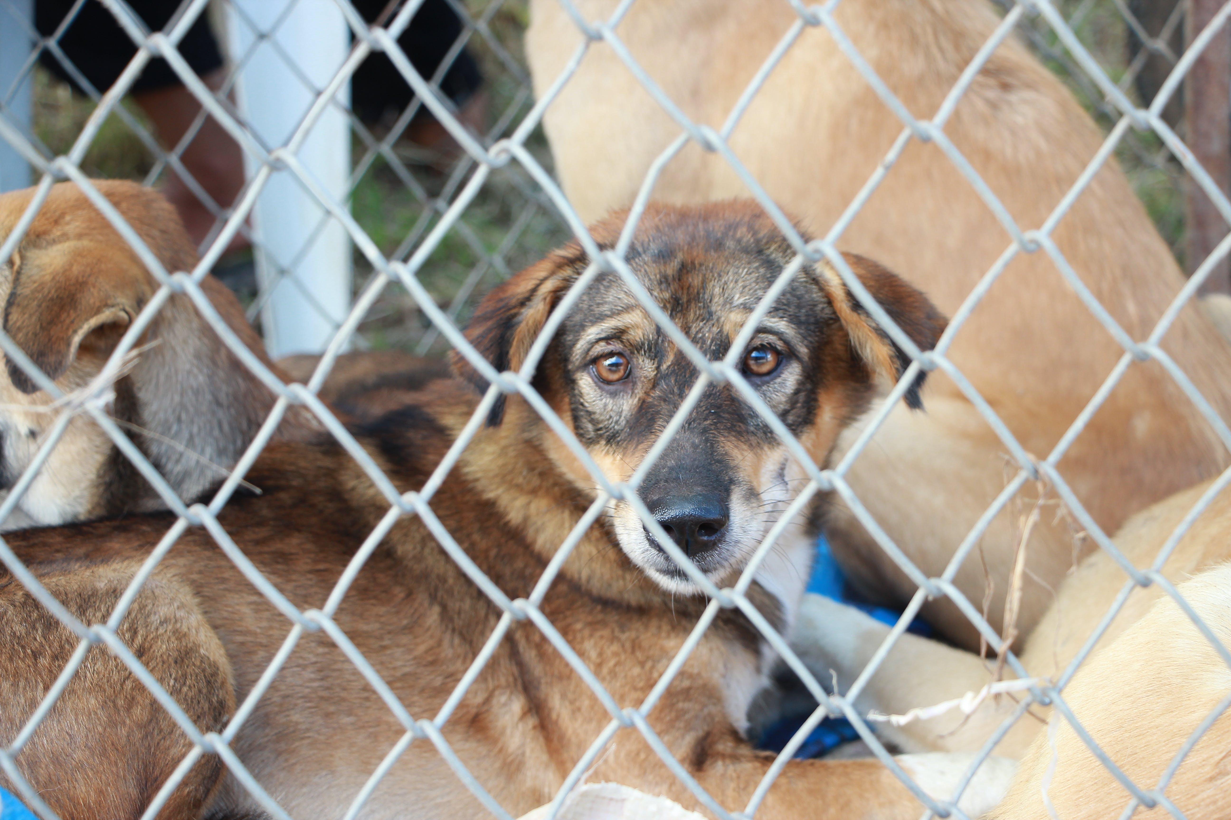 Short-coated Tan Dog Inside Fence