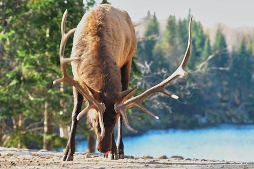 Photos gratuites de animal, cerf, étendue sauvage, fourrure