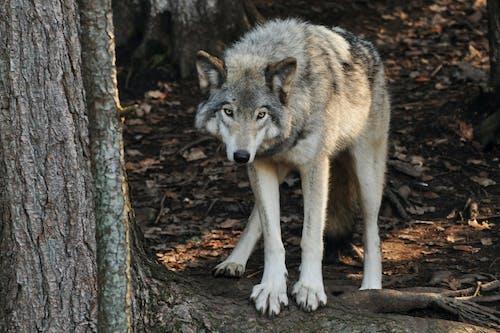 Photos gratuites de faune, forêt, fourrure, loup