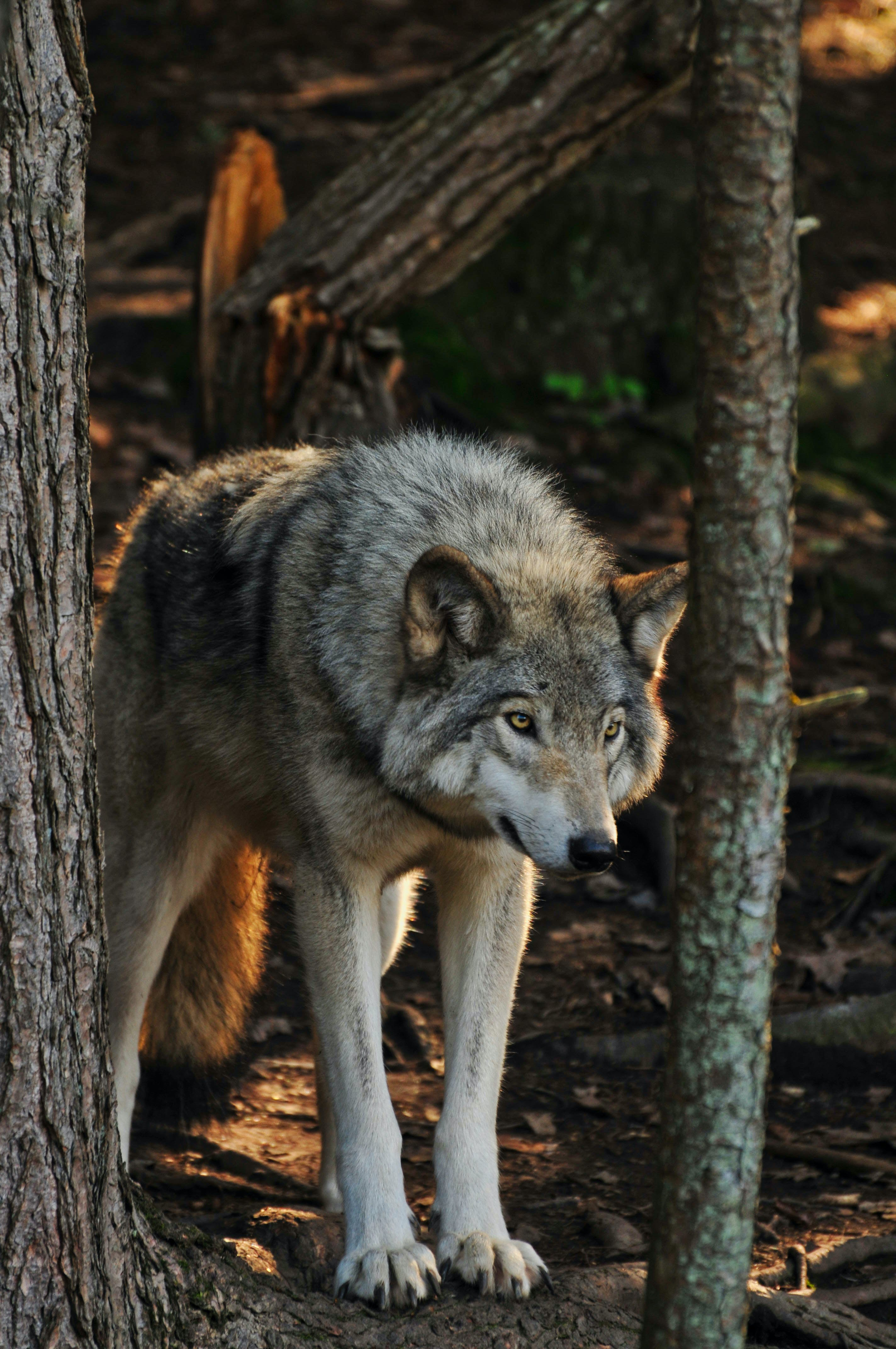 Free stock photo of forest, fur, predator, timber wolf