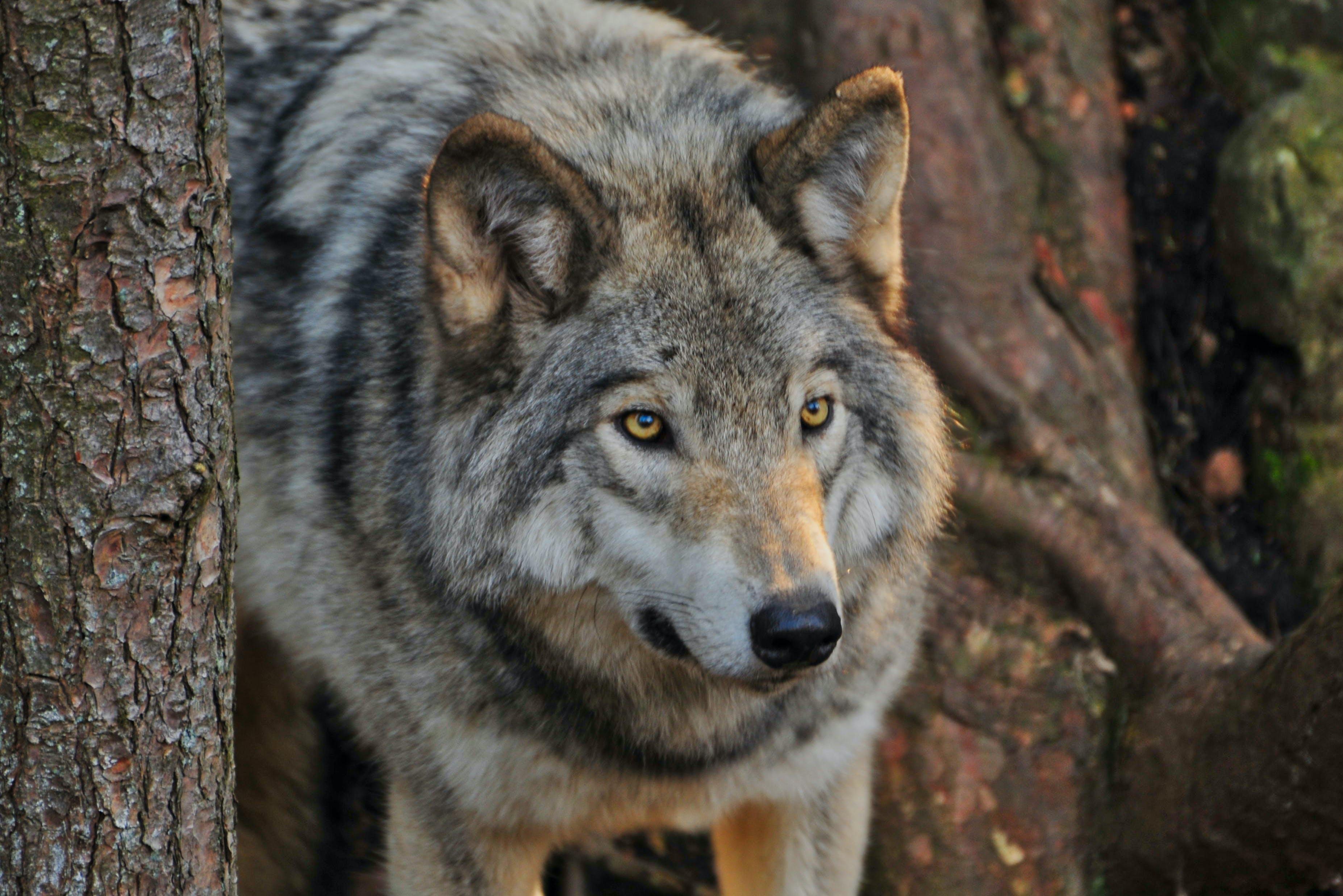Free stock photo of animal, fur, nature, predator