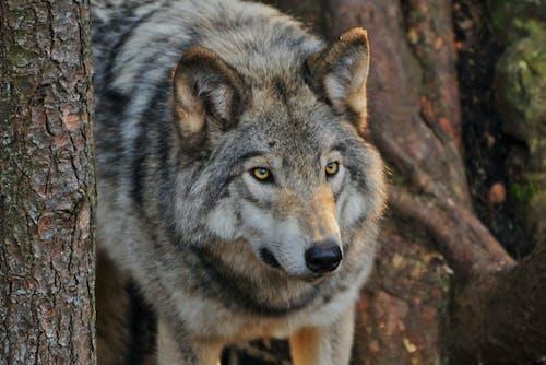 Photos gratuites de animal, étendue sauvage, fourrure, loup