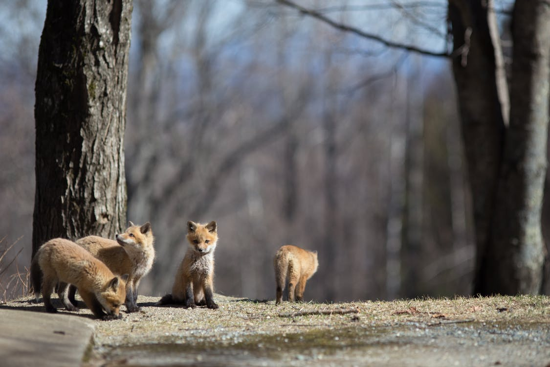 animal, baby foxes, cute
