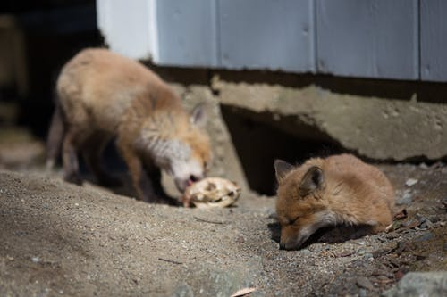 Free stock photo of animal, baby foxes, concrete, cute