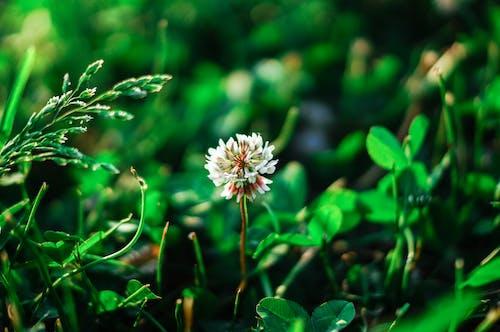 Foto d'estoc gratuïta de botànic, camp, flor blanca, fulles