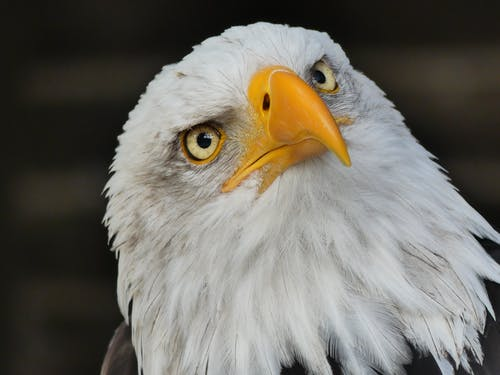 Selective Focus Photography of Bald Eagle
