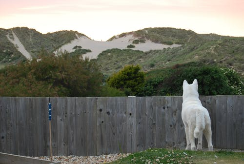 Free stock photo of akita, back view, curiosity, dog